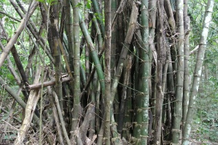 Most of the healthy bamboo can be recognized on their green color. Other bamboos that look like they have lost their color or have different patterns (see bamboo on the right side) need to be removed