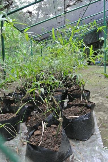 Bamboo nursery