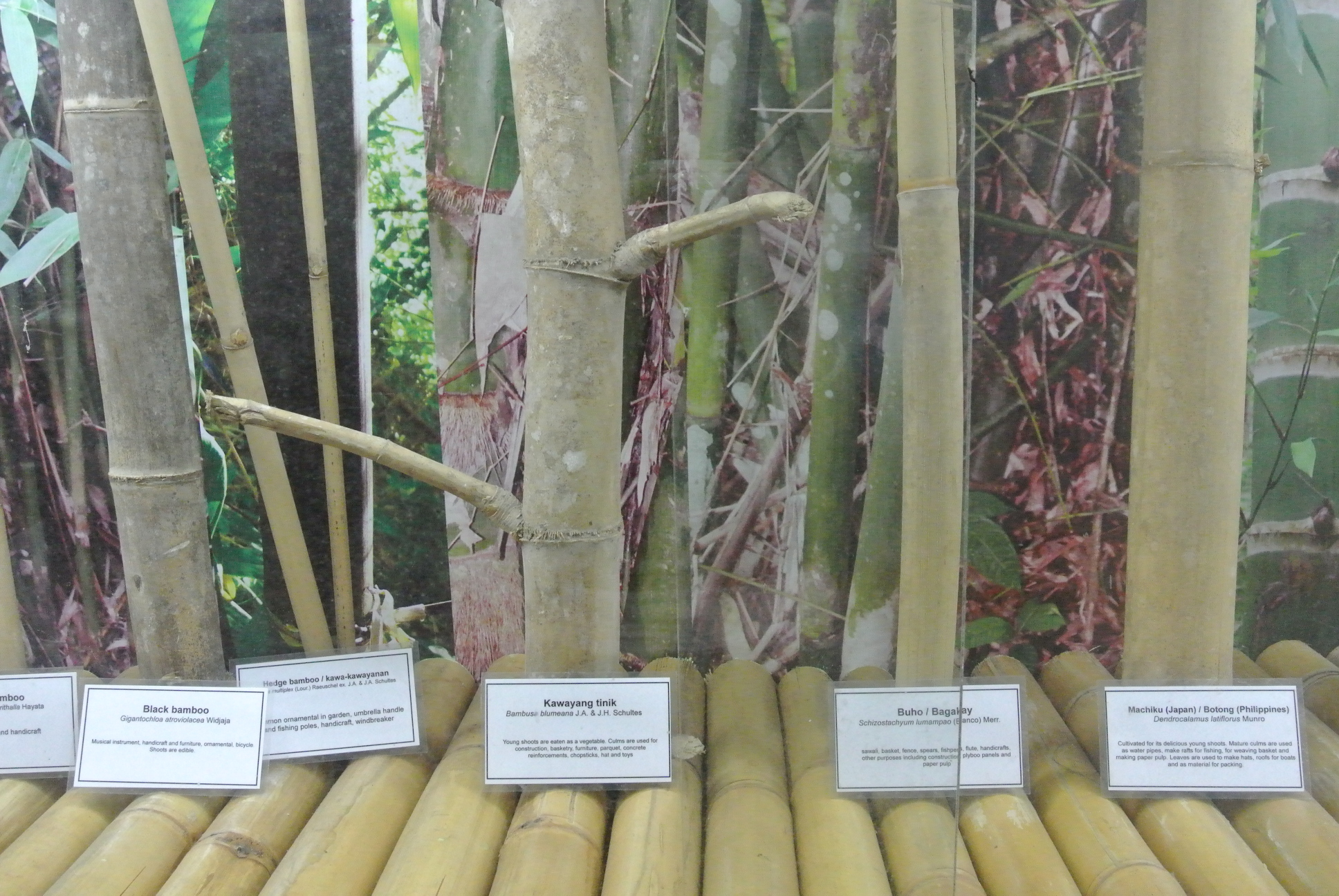 A Few Uses For Bamboo And Its Importance In The Philippines Greenworld