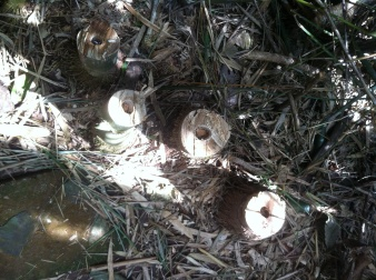 To maintain the bamboo, poles are being cut. The parts of the poles that are then left, will degrade naturally and provide room for new shoots to grow. Meanwhile new bamboo shoots can grow next to the degrading part.